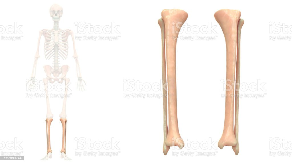 Human Skeleton System Tibia And Fibula Anatomy Anterior View Stock ...
