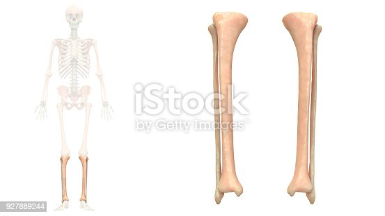 istock Human Skeleton System Tibia and Fibula Anatomy Anterior View 927889244