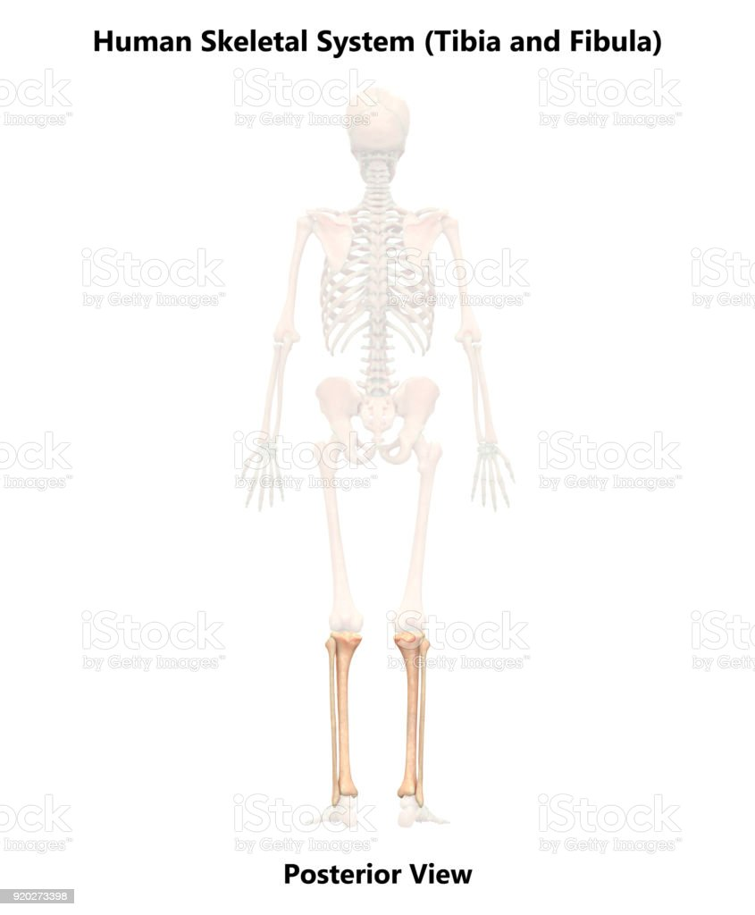 Human Skeleton System Tibia And Fibula Anatomy Stock Photo More