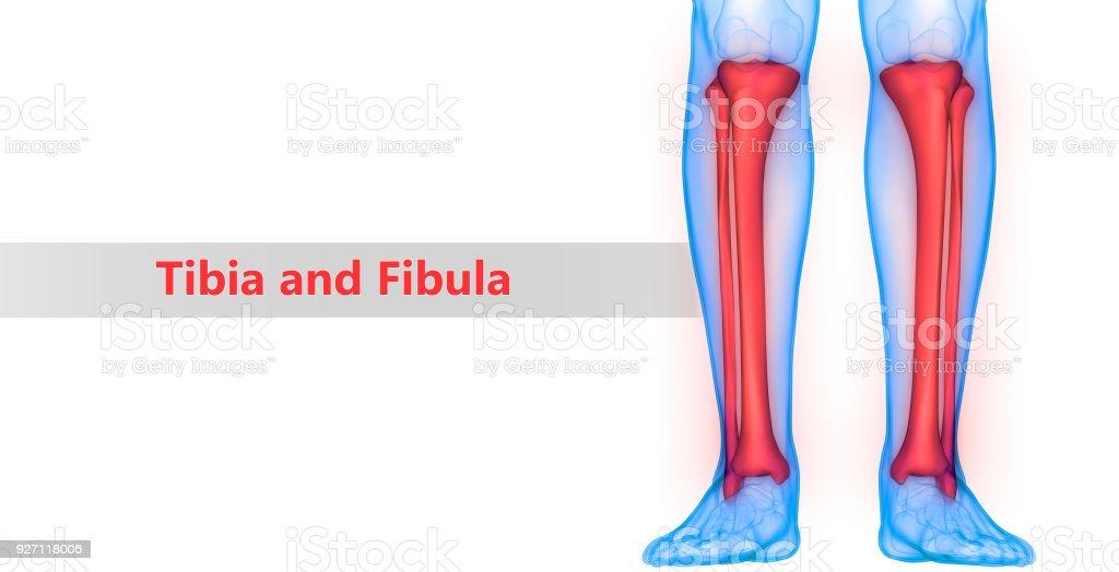 Human Skeleton System Tibia And Fibula Anatomy Stock Photo More