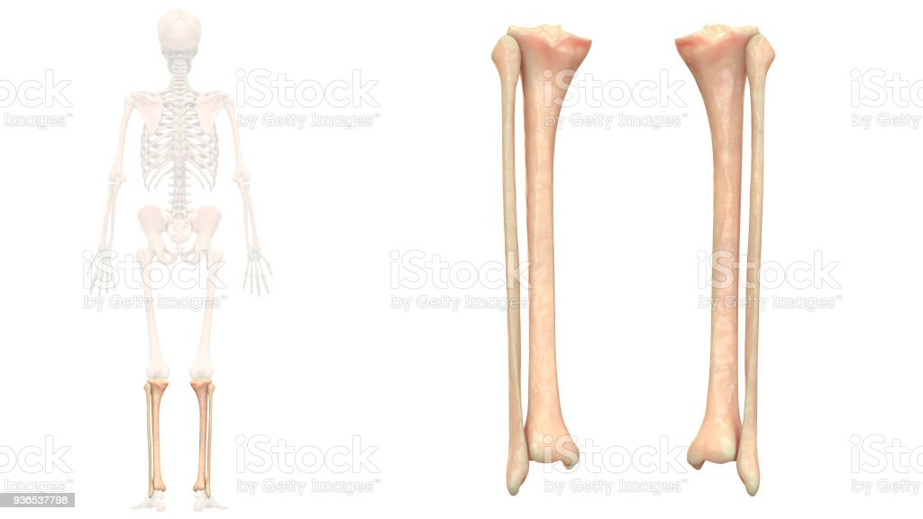 Human Skeleton System Tibia And Fibula Anatomy Stock Photo & More ...