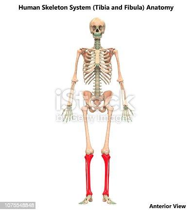 istock Human Skeleton System Tibia and Fibula Bone Joints Anatomy 1075548848