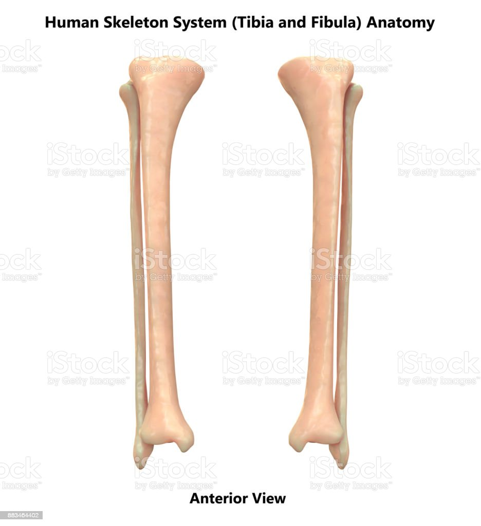 Human Skeleton System Tibia And Fibula Bones Anatomy Stock Photo ...