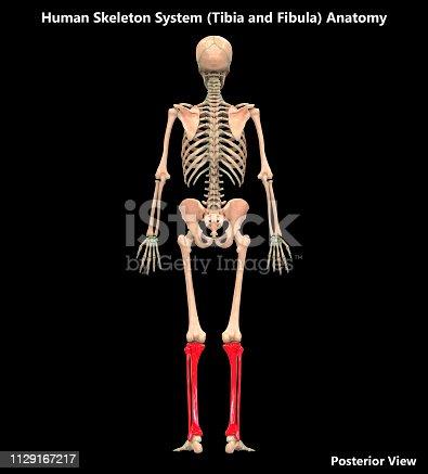 136191596istockphoto Human Skeleton System Tibia and Fibula Posterior View Anatomy 1129167217