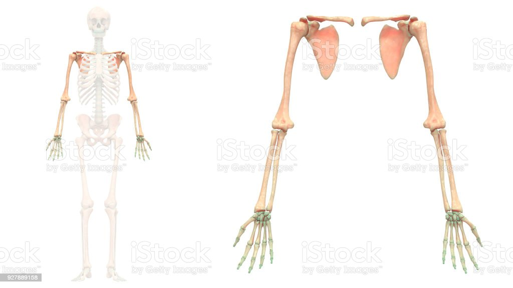 Human Skeleton System Upper Limbs Anatomy Anterior View Stock Photo