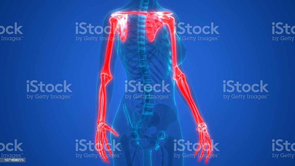 3D Illustration of Human Skeleton System Upper Limbs Anatomy