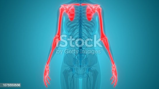 istock Human Skeleton System Upper Limbs Anatomy 1075550556