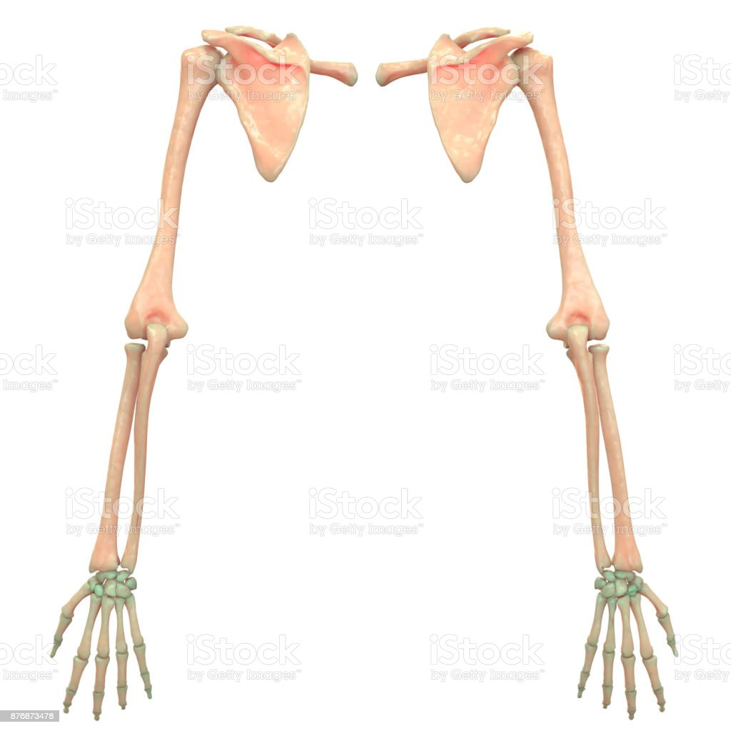 Human Skeleton System Upper Limbs Anatomy Stock Photo & More ...