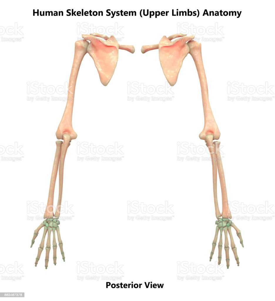 Human Skeleton System Upper Limbs Anatomy Stock Photo More