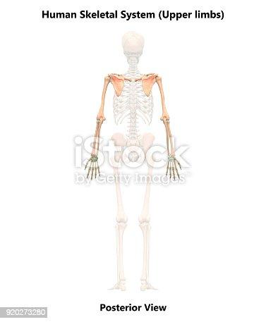 135895161istockphoto Human Skeleton System Upper Limbs Anatomy (Posterior View) 920273280