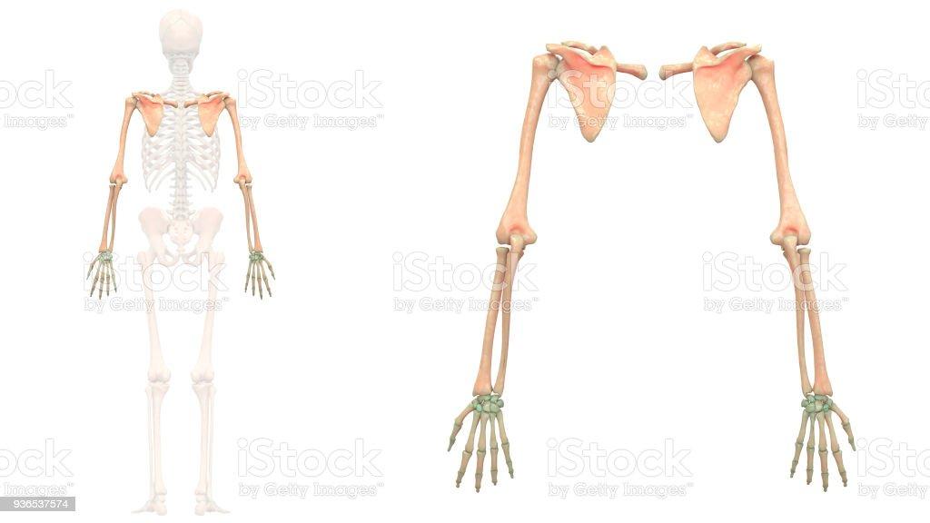 Fotografía de Sistema Esquelético Humano Anatomía De Miembros ...