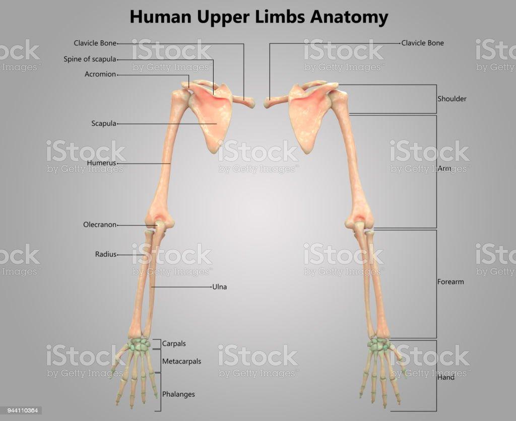 Menschliches Skelett System Oberen Gliedmaßen Label Design Anatomie ...