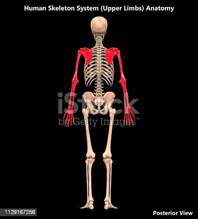 136191596istockphoto Human Skeleton System Upper Limbs Posterior View Anatomy 1129167256