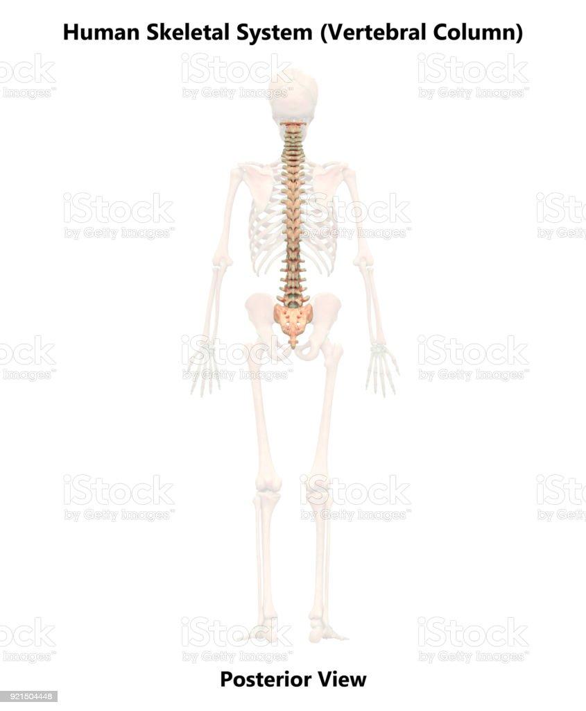 Human Skeleton System Vertebral Column Anatomy Stock Photo More