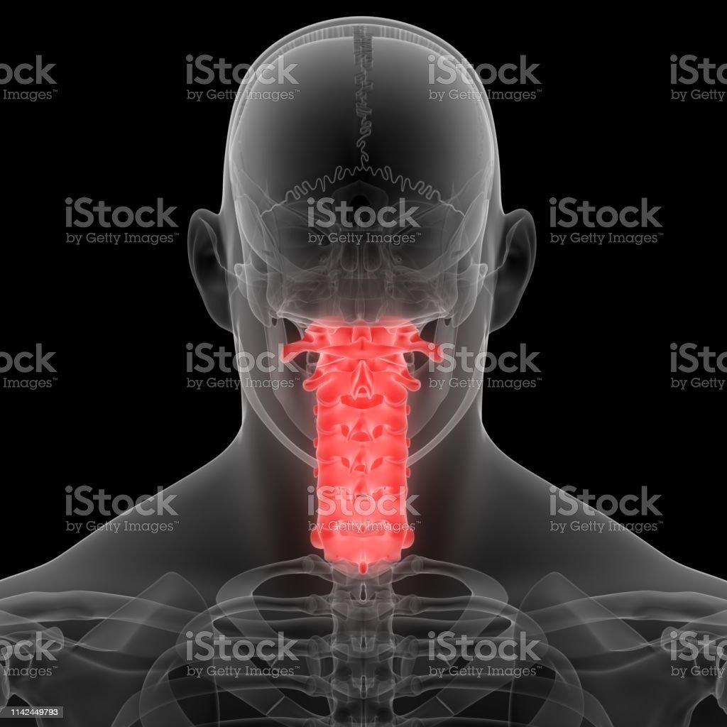 3D Illustration of Human Skeleton System Vertebral Column Cervical...