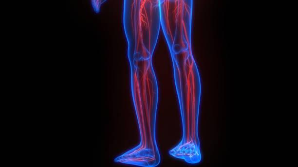 Human Skeleton System With Nervous System Anatomy stock photo