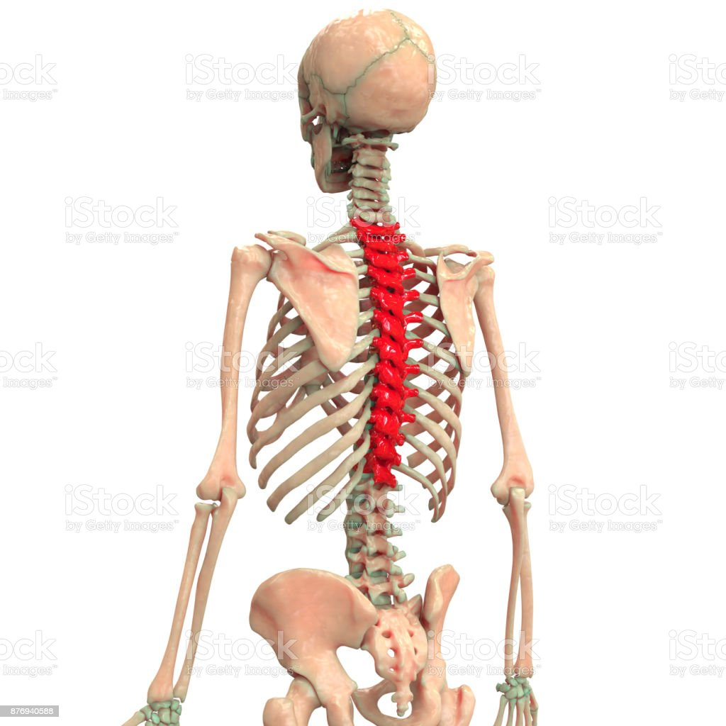 Human Skeleton Vertebral Column Anatomy Stock Photo & More Pictures ...