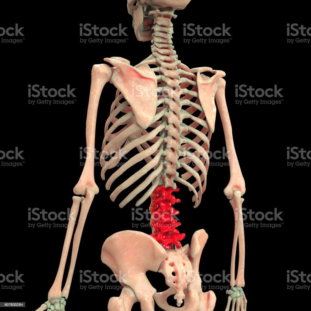 Anatomie Des Menschlichen Skeletts Wirbelsäule Stock-Fotografie und ...