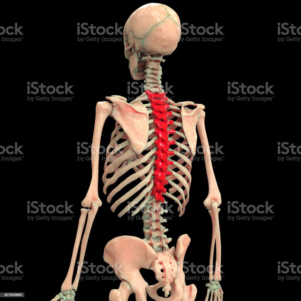 Human Skeleton Vertebral Column Anatomy Stock Photo More Pictures