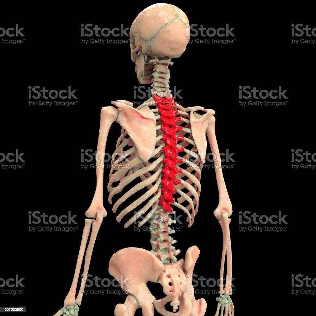 Human Skeleton Vertebral Column Anatomy Stock Photo & More Pictures ...