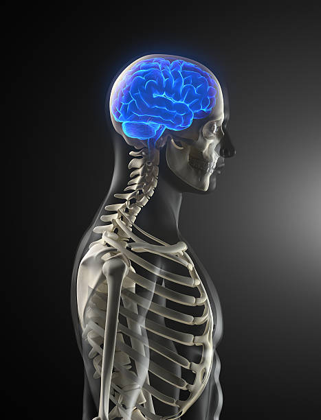 Human skeleton with glowing brain Medical concept with skull, eyes and spine auditory cortex stock pictures, royalty-free photos & images