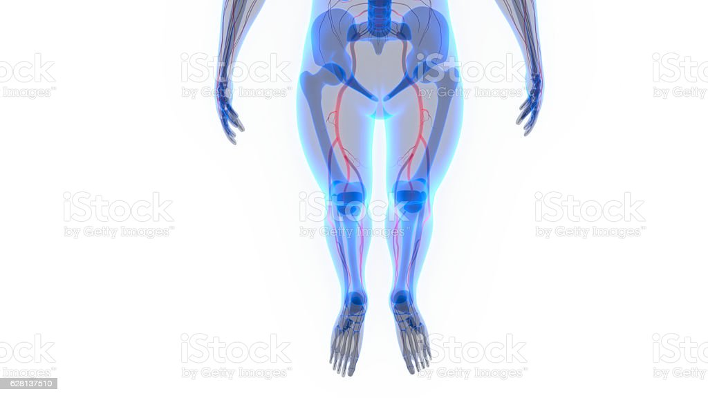 Human Skeleton with Nervous System stock photo
