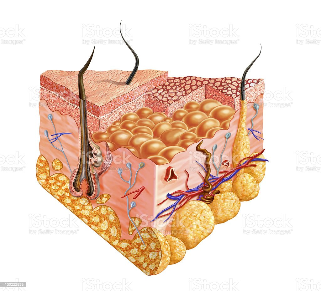 Human skin cutaway diagram, with several details. royalty-free stock photo