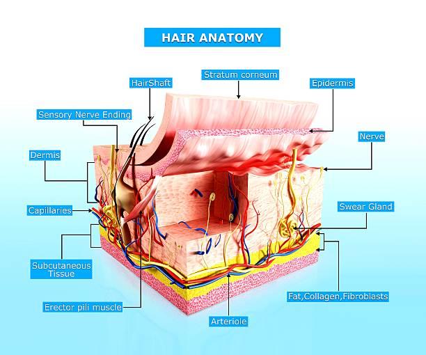 haar-anatomie diagramm menschlichen haut - schichthaare stock-fotos und bilder