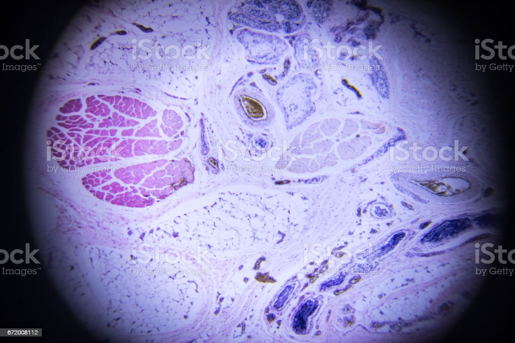 Human Skin Sweat Gland Section In Microscopy Stock Photo More