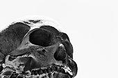 istock Human skull against plain background in black-and-white 1271106346