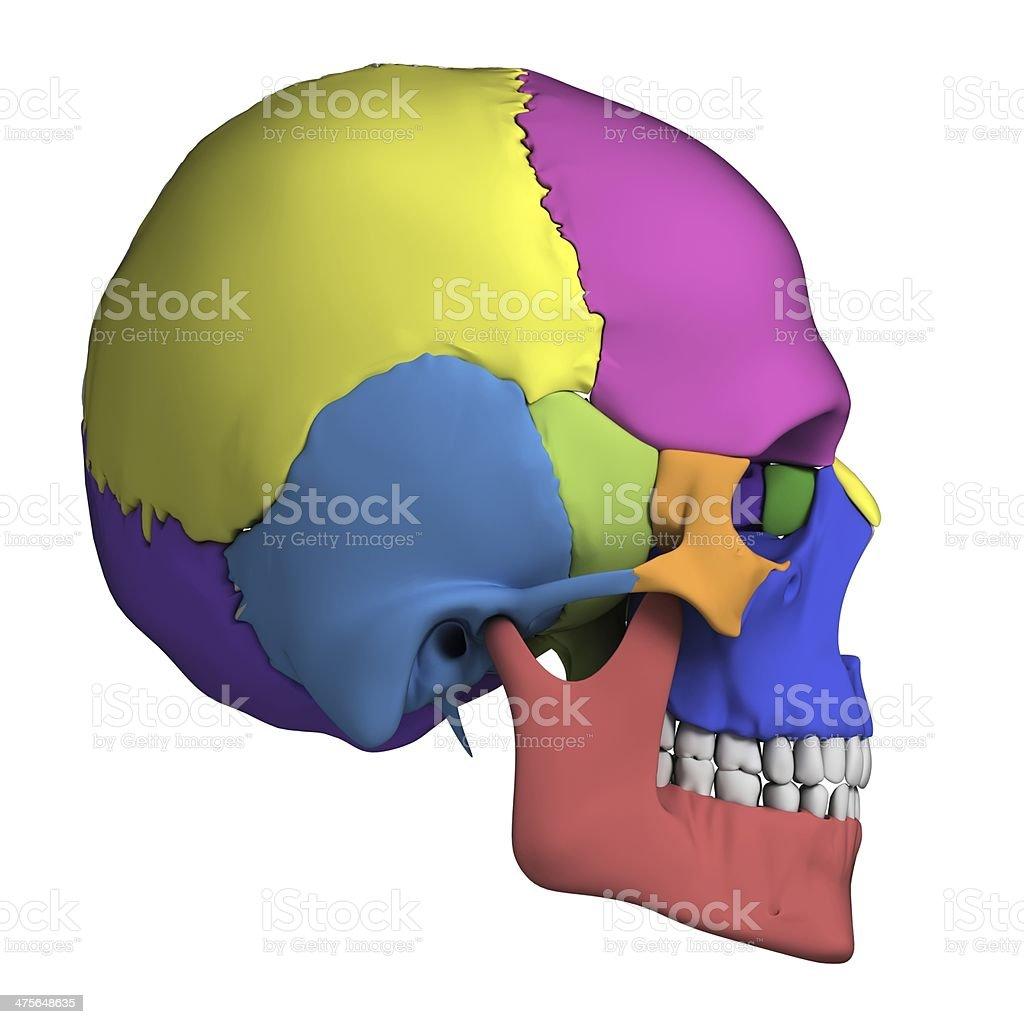 Menschlicher Schädel Anatomie Stock-Fotografie und mehr Bilder von ...