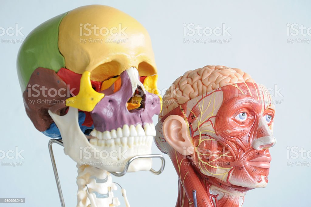 Human Skull And Face Muscle Stock Photo More Pictures Of Anatomy