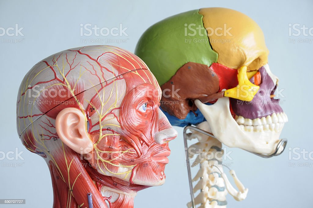 Human Skull And Face Muscle Stock Photo & More Pictures of Anatomy ...