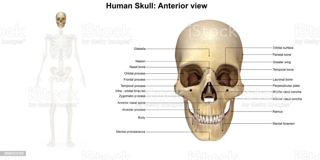 Human Skull Anterior View Stock Photo & More Pictures of Anatomy ...