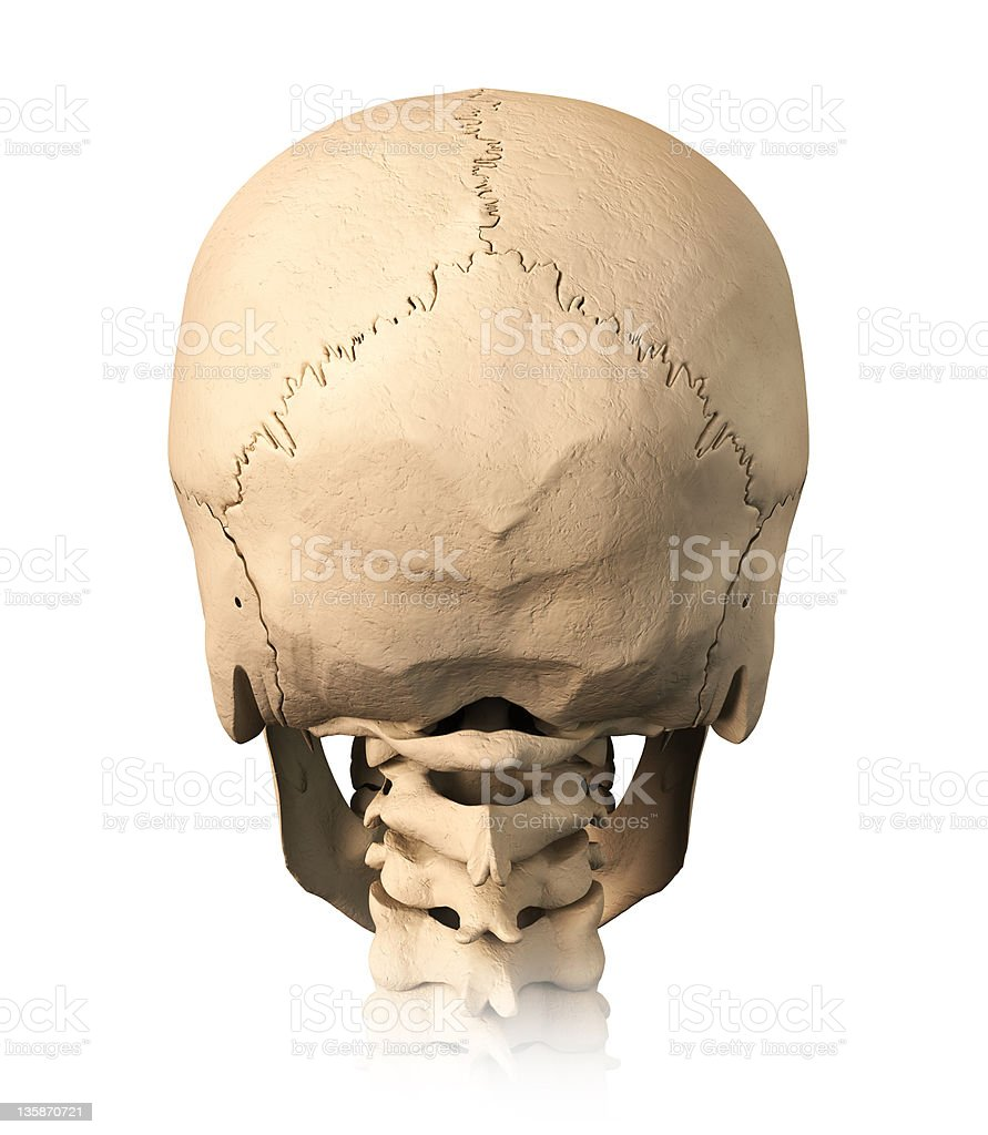 Human Skull Back View Stock Photo More Pictures Of Anatomy Istock