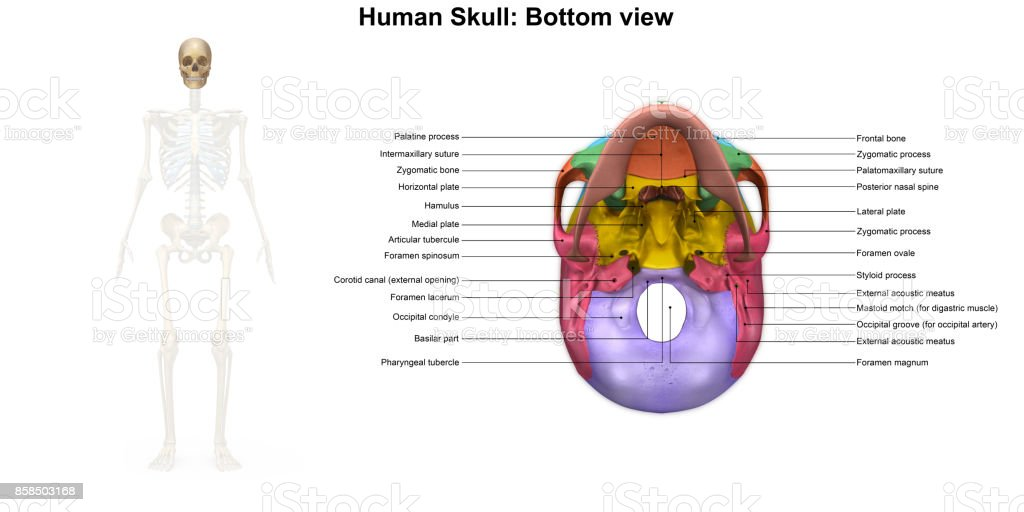 The Underside Of Skull Labeled Diagram Wiring Diagram Services