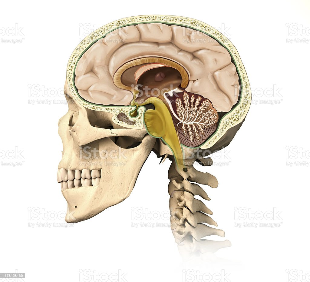 Human Skull Cutaway With All Brain Details Midsagittal Side View ...