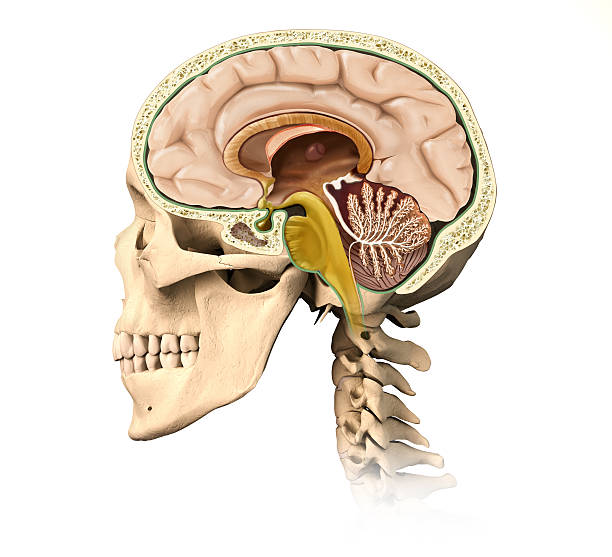 Human skull cutaway, with all brain details, mid-sagittal side view. stock photo