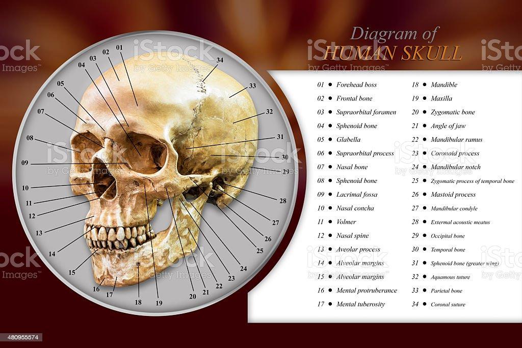 Fotografía de Cráneo Humano Diagrama y más banco de imágenes de 2015 ...