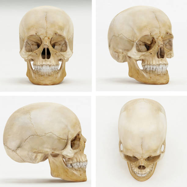 Human Skull - Front, Perspective, Left or Right, Top view - 3D Render Human Skull - Front, Perspective, Left or Right, Top view - 3D Render human skull stock pictures, royalty-free photos & images