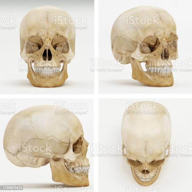Photo of Human Skull - Front, Perspective, Left or Right, Top view - 3D Render