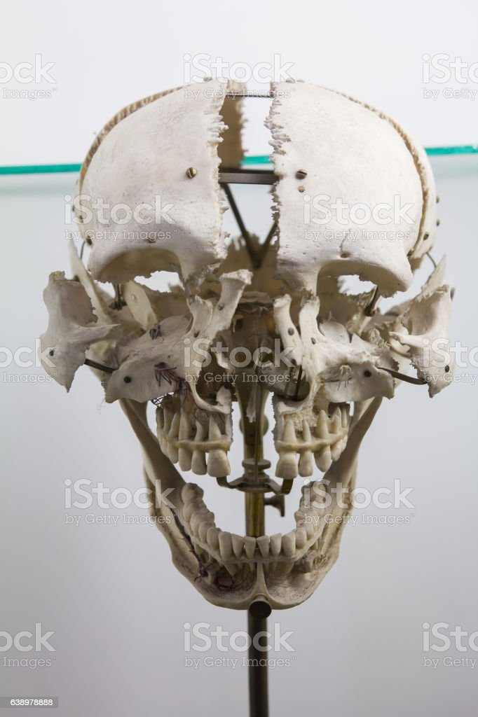 Human skull - guide for students in medical school stock photo