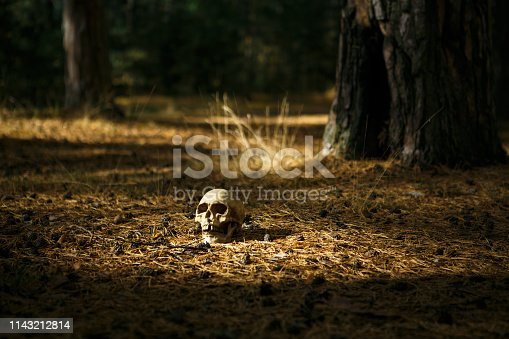 Human skull in the forest on the ground near the tree trunk, sprinkled with pine needles and illuminated by a beam of light. A replica of a human skull for Halloween