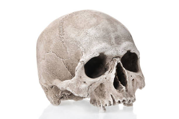 Human skull isolated on white background with reflection. Human skull isolated on white background with reflection human skull stock pictures, royalty-free photos & images