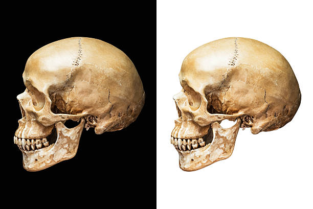 Human skull isolated Side of human skull isolated on black and white background with clipping path human skull stock pictures, royalty-free photos & images