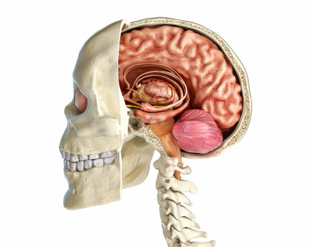 Human skull mid sagittal cross-section with brain. Human skull mid sagittal cross-section with brain. Side view on white background. corpus callosum stock pictures, royalty-free photos & images