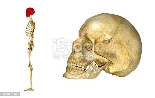 istock Human Skull 498815431