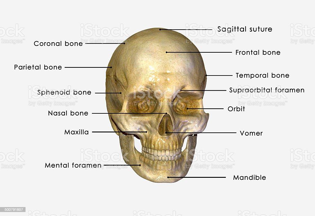 Human Schädel Stock-Fotografie und mehr Bilder von Anatomie | iStock