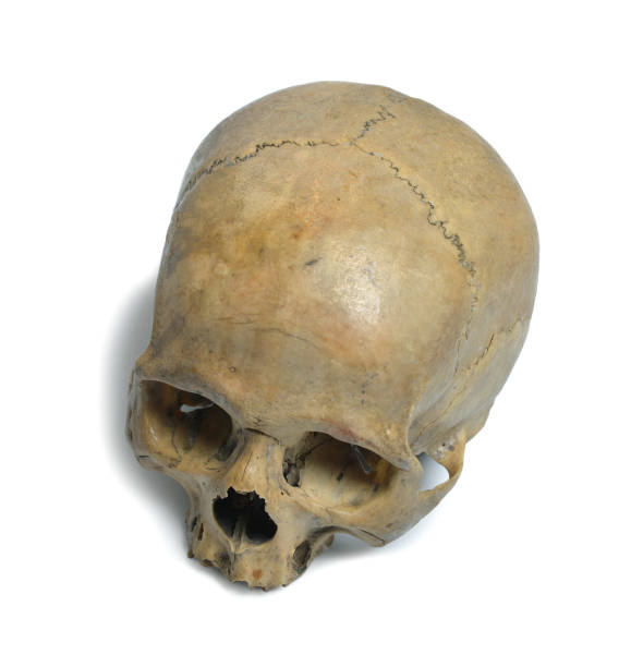 Human skull Human skull close up on a white background. human skull stock pictures, royalty-free photos & images