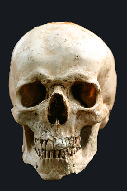 human skull  human skull stock pictures, royalty-free photos & images